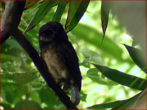 SOLOMON_HAWK_OWL